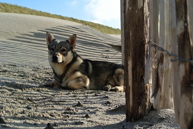 Vastgotaspets-Maasvlakte2 21