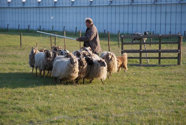 Drentse Heide schapen
